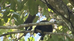 Mantled Howler Monkey Young Several Playing Winter - stock footage