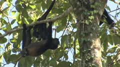 Mantled Howler Monkey Young Several Playing Winter Stock Footage