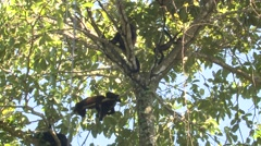 Mantled Howler Monkey Adult Young Several Climbing Winter - stock footage