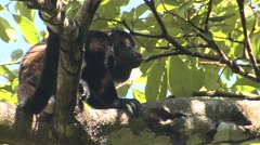 Mantled Howler Monkey Male Adult Lone Calling Winter - stock footage