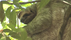 Brown-throated Three-toed Sloth Female Adult Scratching Winter Stock Footage