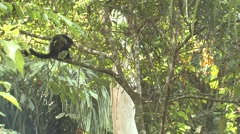 Mantled Howler Monkey Lone Jumping Winter Leaping - stock footage