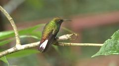 Coppery-headed Emerald Male Lone Winter Stock Footage