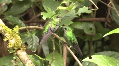 Green-crowned Brilliant Female Winter Stock Footage