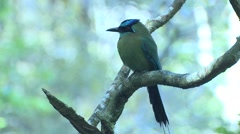 Blue-crowned Motmot Adult Lone Winter Backlight Stock Footage