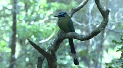 Blue-crowned Motmot Lone Winter Stock Footage