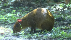 Central American Agouti Adult Lone Feeding Winter Alarmed Stock Footage