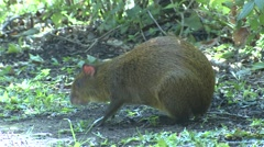 Central American Agouti Adult Lone Alarmed Winter Foraging Stock Footage