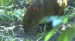 Central American Agouti Adult Lone Feeding Winter Stock Footage