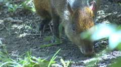 Central American Agouti Adult Lone Feeding Winter Feet Closeup Stock Footage