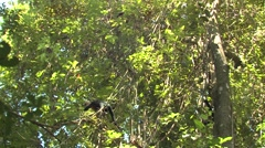 White-faced Capuchin Lone Walking Winter Stock Footage