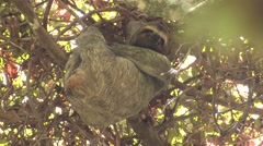 Brown-throated Three-toed Sloth Female Adult Resting Winter Stock Footage
