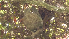 Brown-throated Three-toed Sloth Female Adult Winter Stock Footage