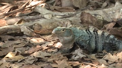Spiny-tailed Iguana Male Female Pair Breeding Winter Head Bob Display Stock Footage