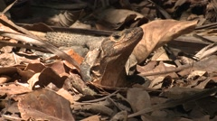 Spiny-tailed Iguana Female Lone Winter - stock footage