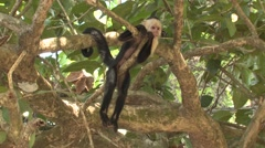 White-faced Capuchin Resting Winter Stock Footage