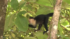 White-faced Capuchin Feeding Winter Stock Footage