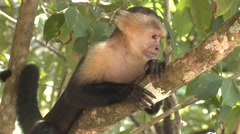 White-faced Capuchin Winter Stock Footage