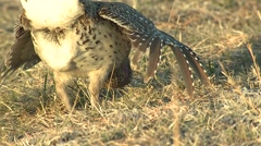 Sharp-tailed Grouse Male Adult Breeding Spring Dawn Dance Strut Lek Display Stock Footage