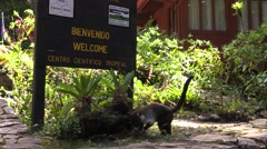 Coatimundi Lone Walking Winter Cloud Forest Entrance Sign Stock Footage