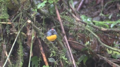 Slate-throated Redstart Adult Lone Winter - stock footage