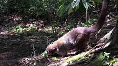 Coatimundi Adult Lone Feeding Winter Tail Stock Footage