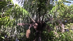 Date Palm Fruit Winter Stock Footage