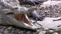 Stock Video Footage of Saltwater Crocodile Adult Lone Winter Mouth Teeth Thermal Regulation