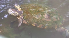Yellow-bellied Slider Adult Lone Swimming Winter Stock Footage