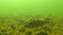 Yellow Perch Several Spring Underwater Stock Footage