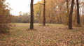 Autumn  forest with yellow leaves . Steadicam   walking HD Footage
