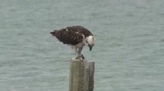 Osprey Immature Lone Feeding Winter Saltwater - stock footage
