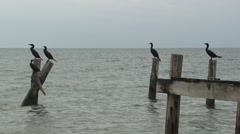 Neotropic Cormorant Several Winter Dock Pier Posts Stock Footage