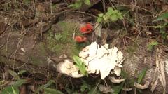 Fungi Winter Mushroom Decomposition Tropics - stock footage