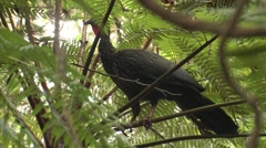 Crested Guan Lone Alarmed Winter Stock Footage