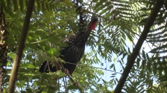 Crested Guan Lone Winter Stock Footage