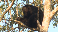 Howler Monkey Adult Lone Resting Winter Stock Footage