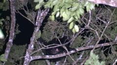 Howler Monkey Winter Night Floodlight Stock Footage