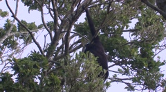Howler Monkey Lone Feeding Winter Hanging Tail Stock Footage