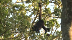Howler Monkey Feeding Winter Hanging Tail Foraging Stock Footage