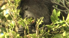 Howler Monkey Adult Lone Feeding Winter Eating Leaves Closeup Stock Footage