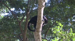 Howler Monkey Lone Climbing Winter Zoom Out Stock Footage