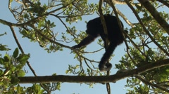 Howler Monkey Lone Winter Treetop Canopy Stock Footage
