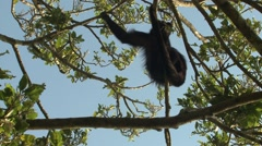 Howler Monkey Climbing Winter Treetop Canopy Stock Footage