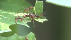 Leaf Cutter Ants Several Winter Cutting - stock footage