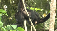 Howler Monkey Male Adult Lone Winter Grabbing Leaves Stock Footage