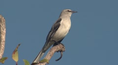 Tropical Mockingbird Adult Lone Calling Spring Singing Song Stock Footage
