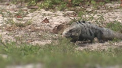 Spiny-tailed Iguana Spring Stock Footage