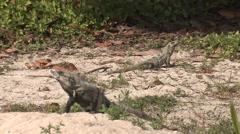 Spiny-tailed Iguana Spring - stock footage