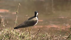 Red-wattled Lapwing Adult Lone Spring Water Stock Footage
